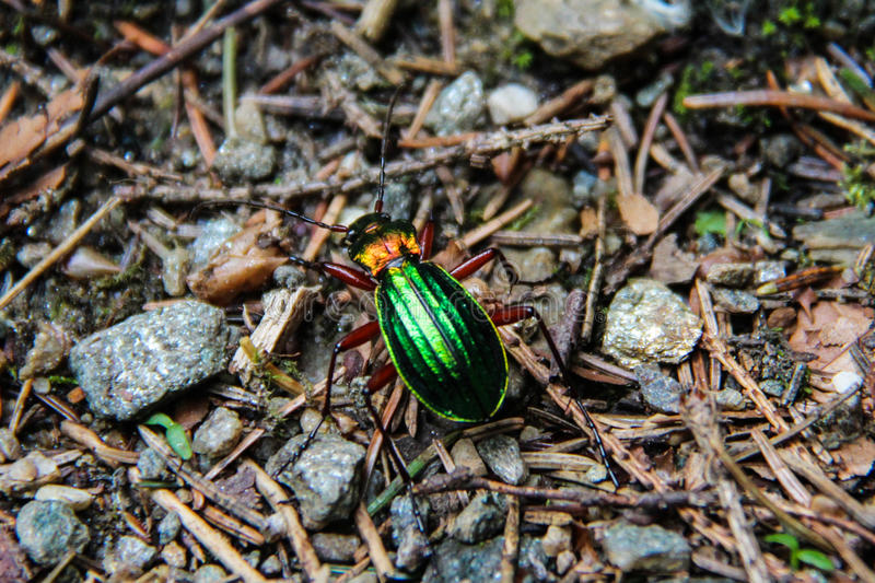 Glanzend Groen Insect royalty-vrije stock afbeelding