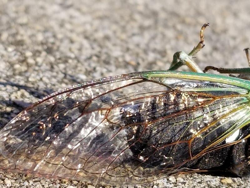 Glanzende Cicadevleugel royalty-vrije stock afbeelding