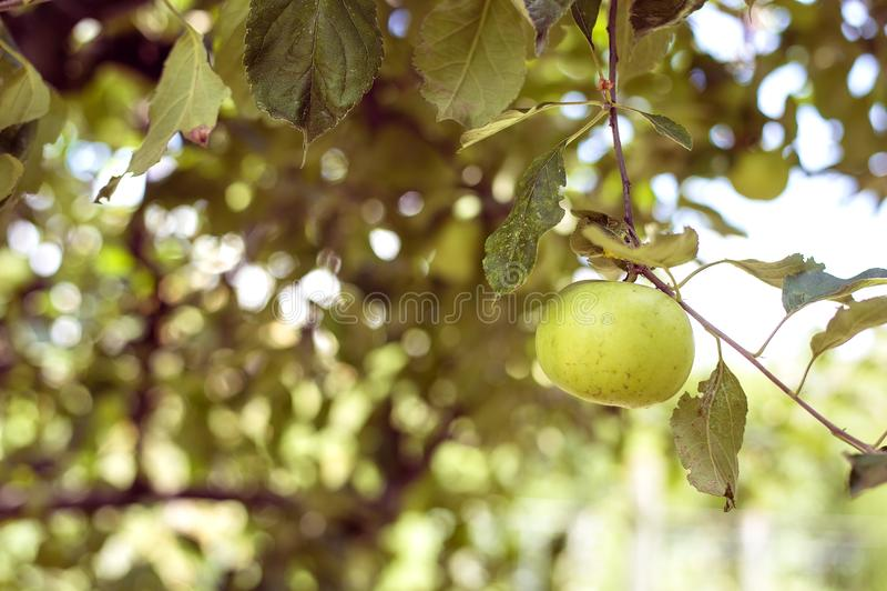 Glanzende heerlijke appelen die van een boomtak hangen in een appelboomgaard stock afbeeldingen