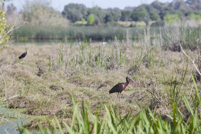 Glanzende Ibis stock foto's