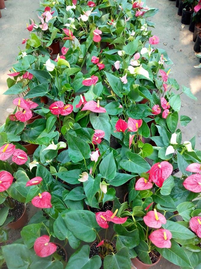 glanzende rode bladereninstallatie royalty-vrije stock foto