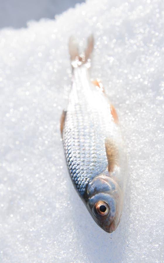Glanzende voorn op sneeuw stock fotografie