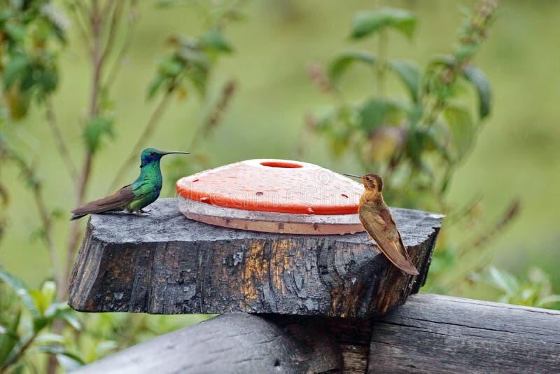Glanzende zonnestraal en het Fonkelen violetear kolibries bij een voeder in de Ecologische Reserve van Antisana stock foto's