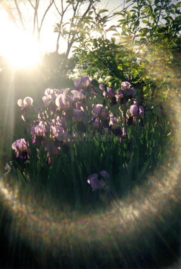 Glare of sun on irises. Sunlight on purple irises, creating illusion of heavenly halo royalty free stock photos