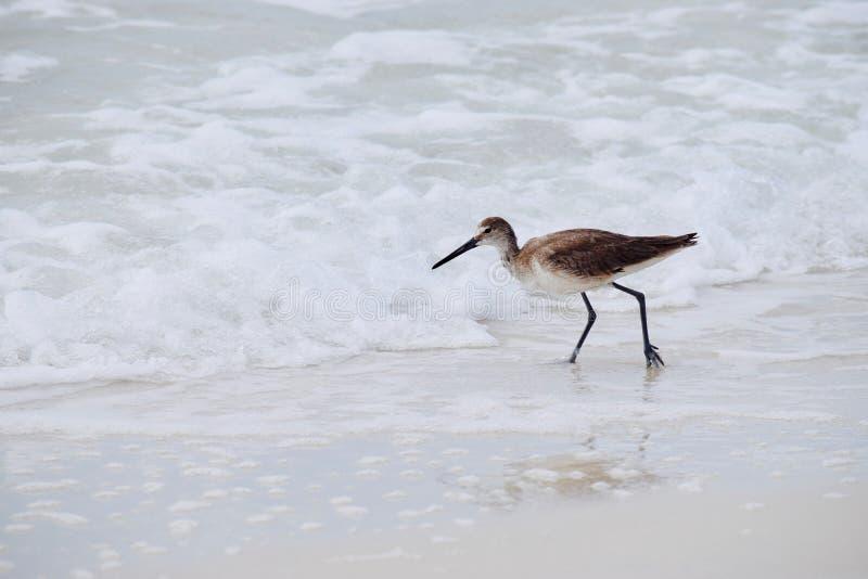 Glareola tringa λασπότρυγγων κατά μήκος της ακτής στοκ φωτογραφίες με δικαίωμα ελεύθερης χρήσης