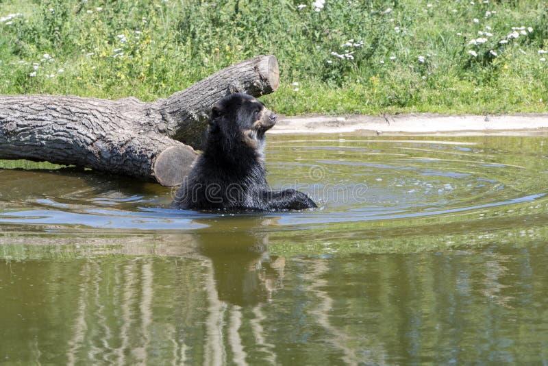 Glasögonprydd björn som tycker om en dusch på en varm sommardag royaltyfri fotografi