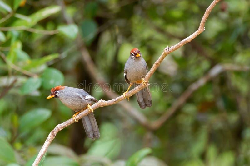 glasögonprydd laughingthrush för Kastanj-korkad Laughingthrush fågel royaltyfria bilder