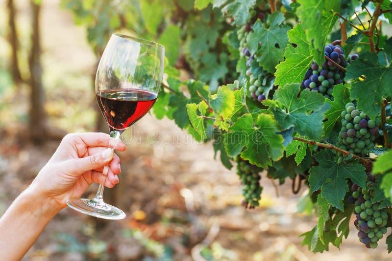 Glas Rotwein in der Hand auf Weinstockhintergrund stockbilder