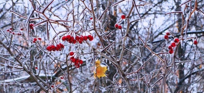 Is-glasade röda bär och sidor arkivfoto