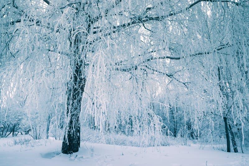 Glasera trädet i vinterskog på morgon med ny snö arkivbild