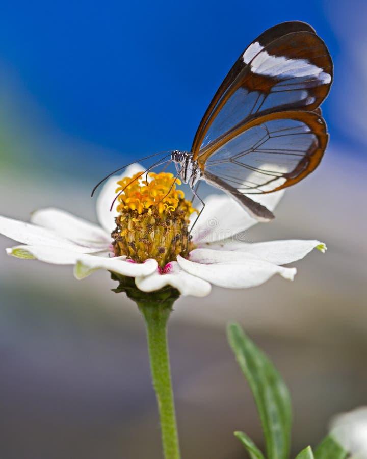 Glasflügel Schmetterling gehockt auf einer Blume stockfoto