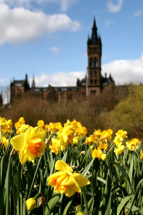 Download Glasgow, The University With Daffodils Stock Photo - Image: 10909478
