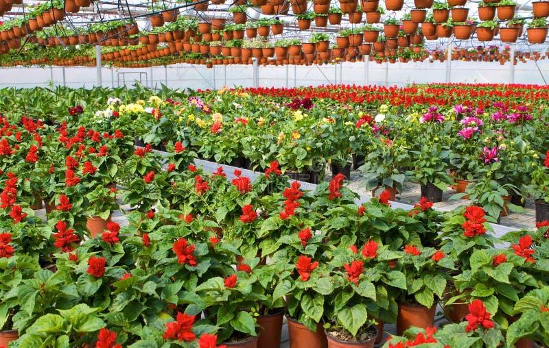 Glashaus mit roten Blumen stockfotos