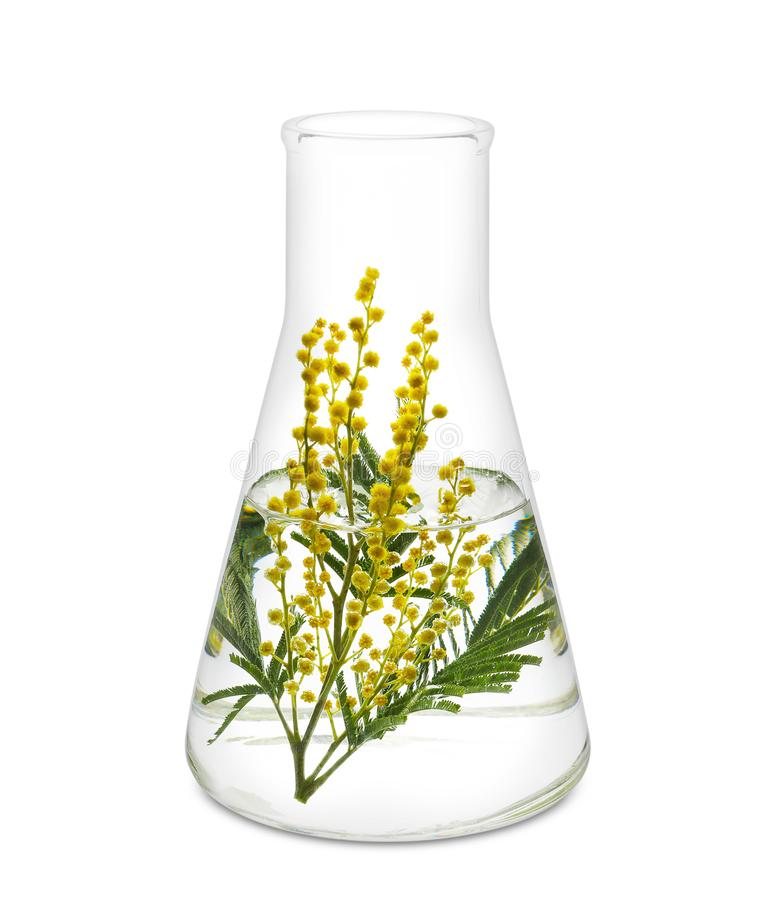 Glass flask with mimosa flowers on white background royalty free stock photo