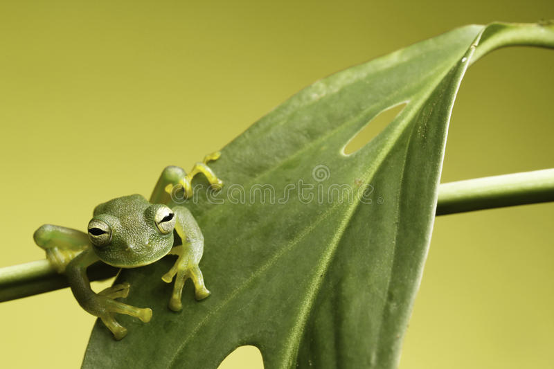Download Glass frog stock image. Image of colour, copy, frog, extinction - 14063163