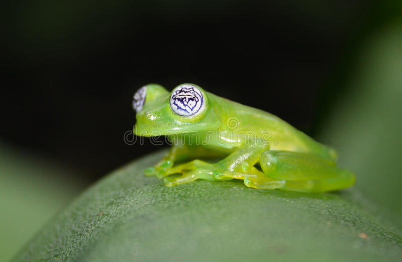 Glass Frog stock photo
