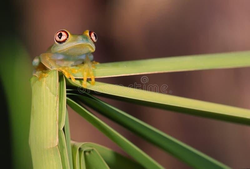 Download Glass frog (centrolene) stock image. Image of frog, transparent - 15253021