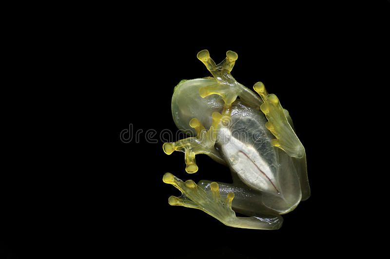 Download Glass Frog Transparent Amphibian In Rainforest Stock Image - Image: 14101681