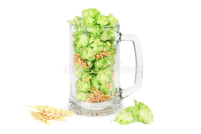 Glass with hop cones isolated on white background. Beer brewery concept. Beer background royalty free stock image