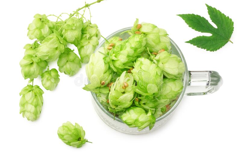 Glass with hop cones isolated on white background. Beer brewery concept. Beer background. top view royalty free stock photography