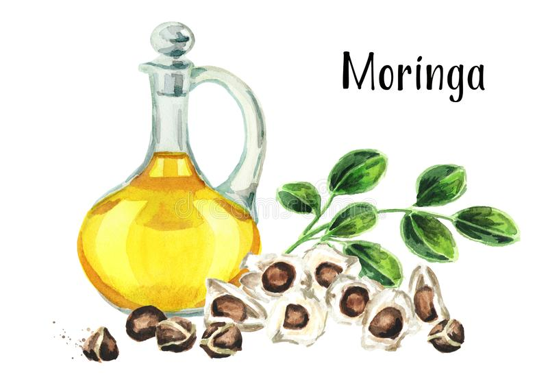 Glass jug of Moringa or Behen Oil, leaves and seeds of the Moringa tree. Watercolor hand drawn illustration, isolated on white bac stock images