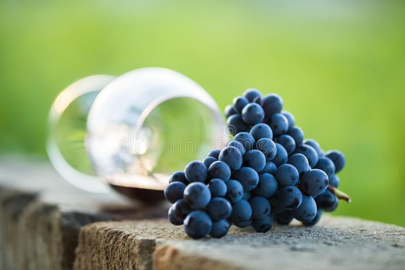 Glass of red wine with purple grapes. Dropped wine glass and spilled red wine stock images