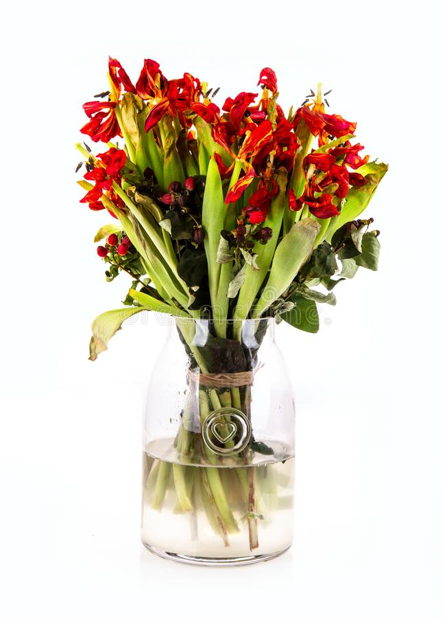 Glass vase of dead and dying tulip flowers with a white background stock photography