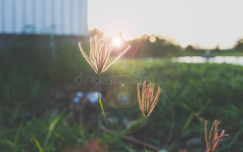 Glass or Wayside flowers royalty free stock photo