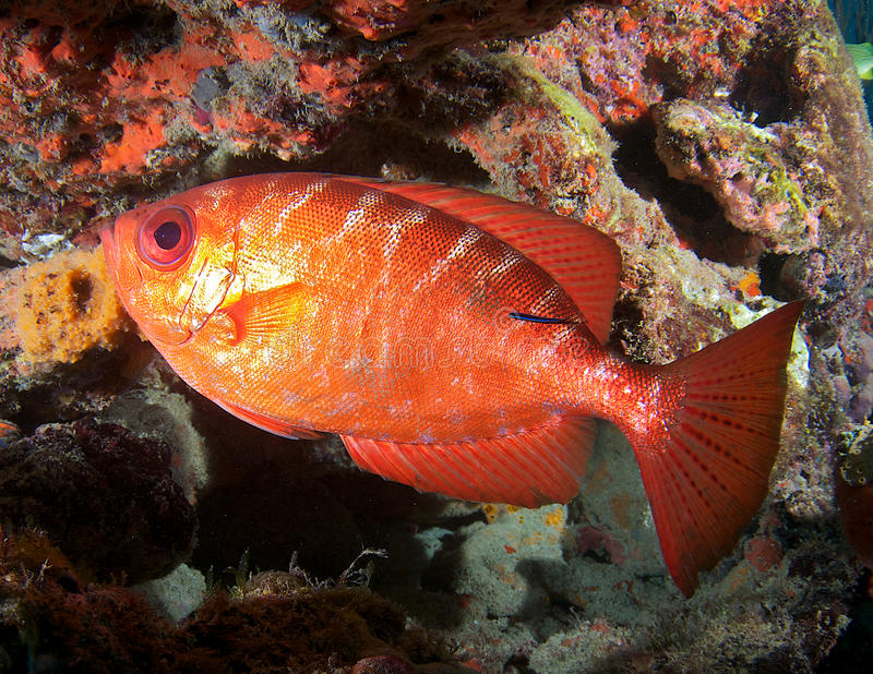 Glasseye Snapper. Heteropriacanthus cruentatus, with a Neon Goby on its side royalty free stock photography