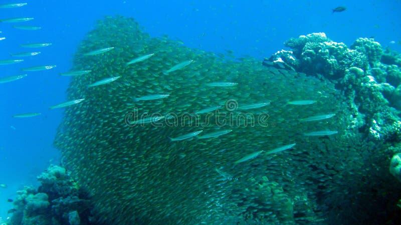 Glassfish и баррачуда младенца на коралловом рифе стоковые фото