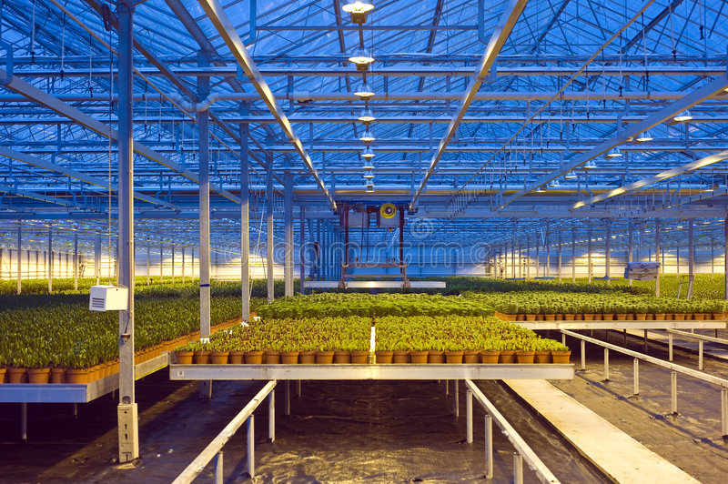 Glasshouse automation. A robotic pick and place unit in a tungsten lit glasshouse, arranging trays of lilies at dusk stock photo