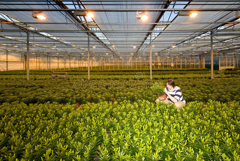 Glasshouse worker. A man, crouching in between endless rows of potted plants inside a glasshouse stock images