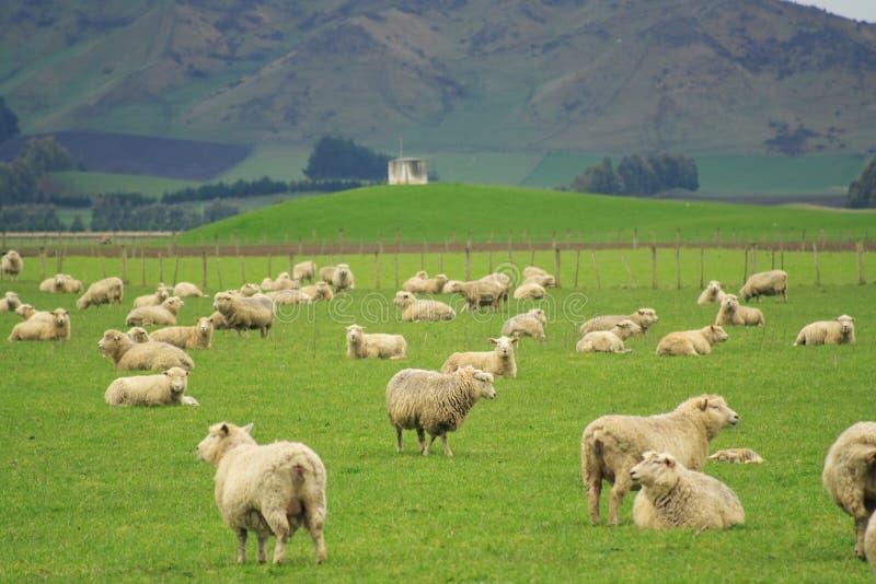 glassland绵羊 库存照片