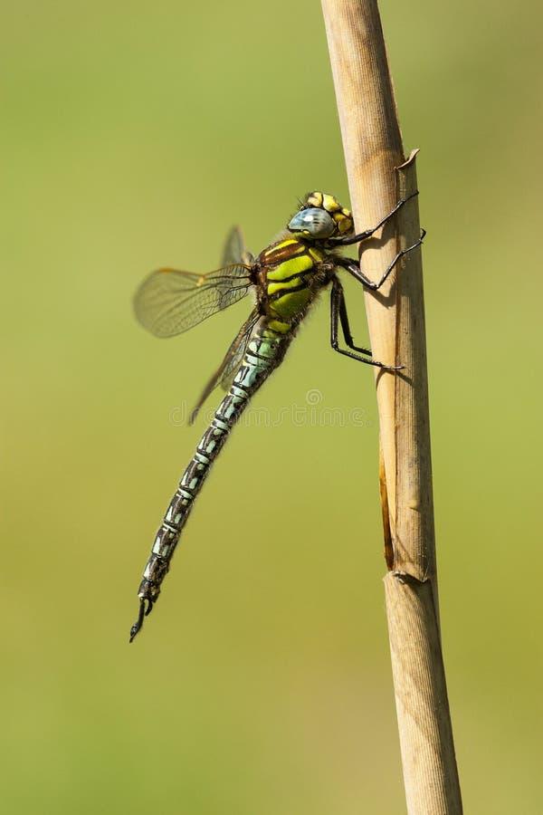 Glassnijder, libellula pelosa, pratense di Brachytron fotografia stock libera da diritti