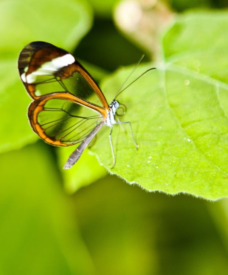 glasswing的蝴蝶 免版税库存照片