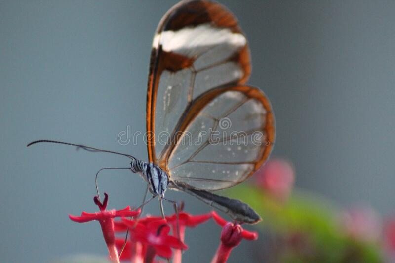 Glasswing Tropical Butterfly Feasting On Nectar. A small Glasswing tropical butterfly tucking in to some nectar royalty free stock images