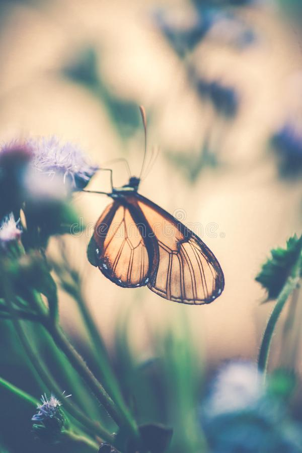 Glasswinged motyl na kwiacie fotografia stock