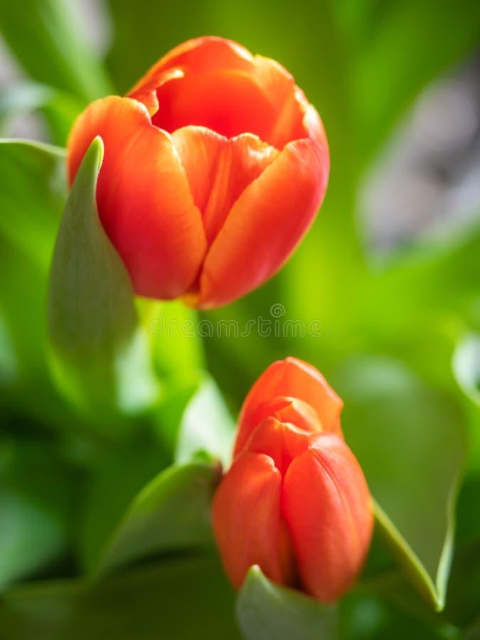 Glasvaas met rode tulpenbloemen in licht comfortabel binnenland Witte lijst en licht van het open venster royalty-vrije stock foto