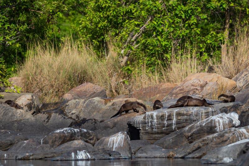 Glatte überzogene Otter Lutrogale-pers Familie, die in der Sonne auf Felsen sich aalt, nachdem Bad im Wasser von chambal Fluss am lizenzfreie stockfotos