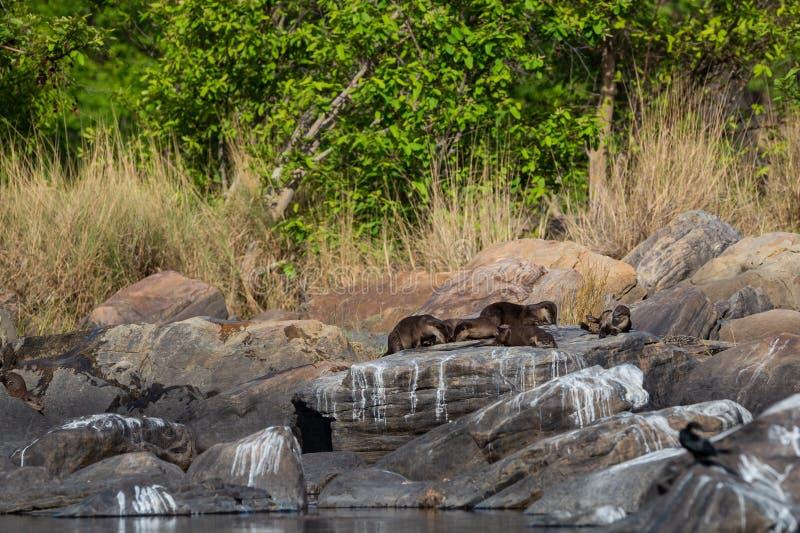 Glatte überzogene Otter Lutrogale-pers Familie, die in der Sonne auf Felsen sich aalt, nachdem Bad im Wasser von chambal Fluss am lizenzfreie stockbilder