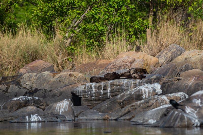 Glatte überzogene Otter Lutrogale-pers Familie, die in der Sonne auf Felsen sich aalt, nachdem Bad im Wasser von chambal Fluss am lizenzfreies stockfoto