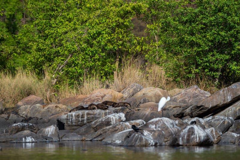 Glatte überzogene Otter Lutrogale-pers Familie, die in der Sonne auf Felsen sich aalt, nachdem Bad im Wasser von chambal Fluss am lizenzfreie stockfotografie