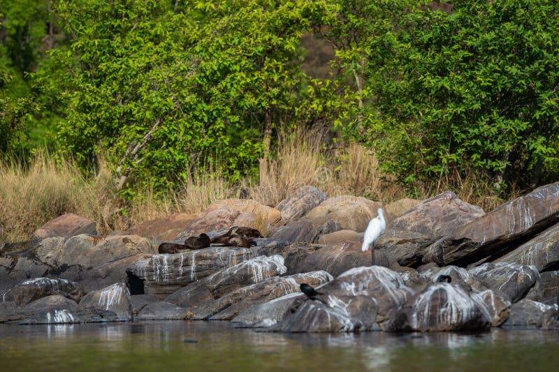 Glatte überzogene Otter Lutrogale-pers Familie, die in der Sonne auf Felsen sich aalt, nachdem Bad im Wasser von chambal Fluss am stockfoto