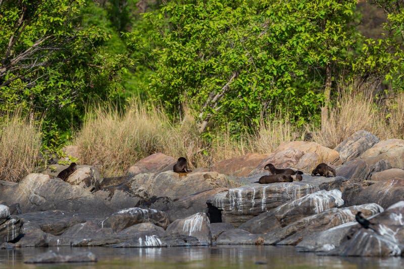 Glatte überzogene Otter Lutrogale-pers Familie, die in der Sonne auf Felsen sich aalt, nachdem Bad im Wasser von chambal Fluss am stockbilder