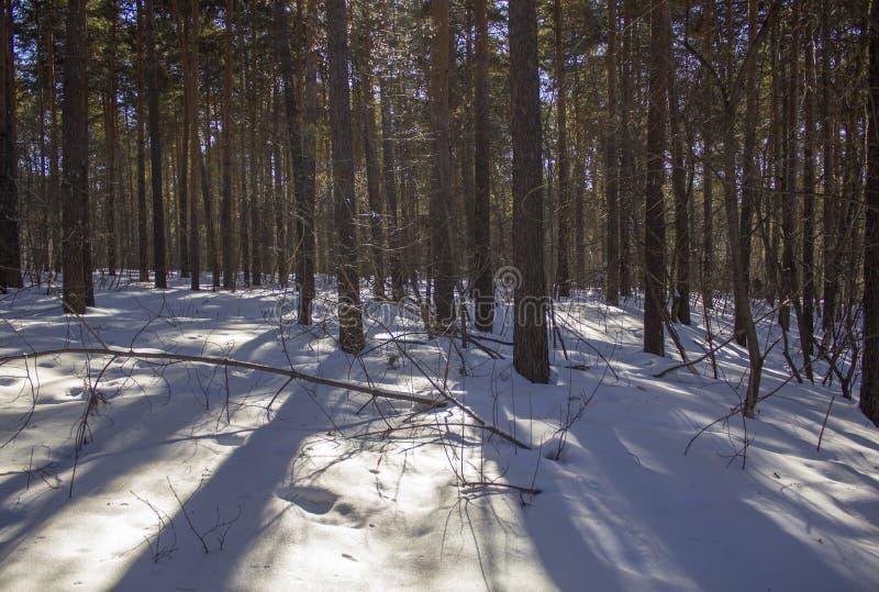 Glatte Baumstämme mit Schatten auf weißem Schnee gegen einen Hintergrund des grünen Koniferenwaldes im Winter stockbilder