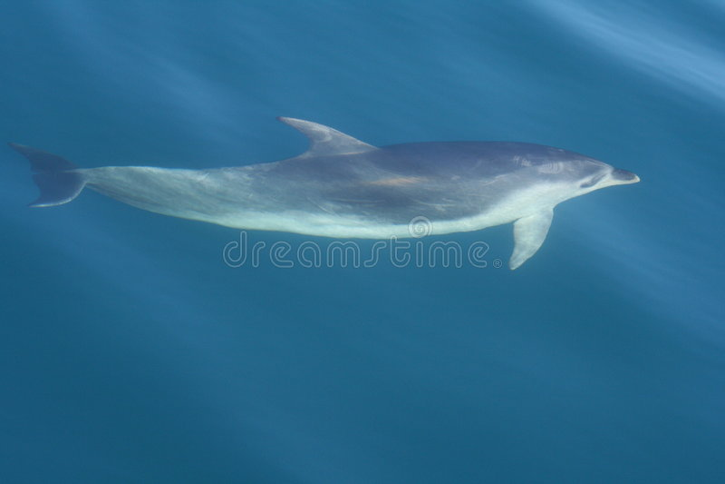 Glatte düstere Delphinschwimmen lizenzfreie stockfotografie