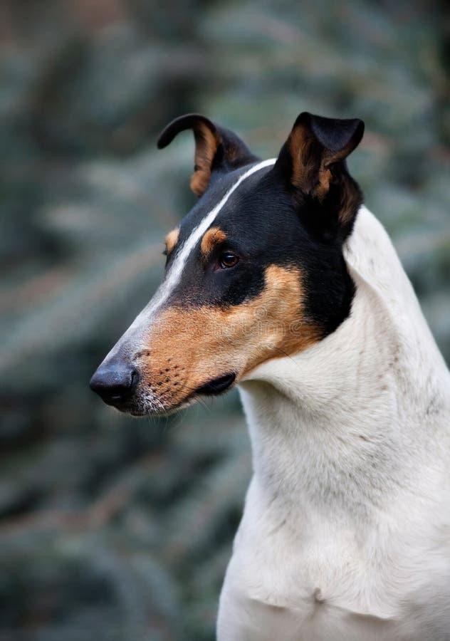 Glatter Colliehund stockbilder