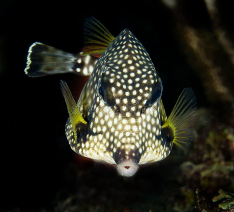 Glatter Trunkfish stockbilder