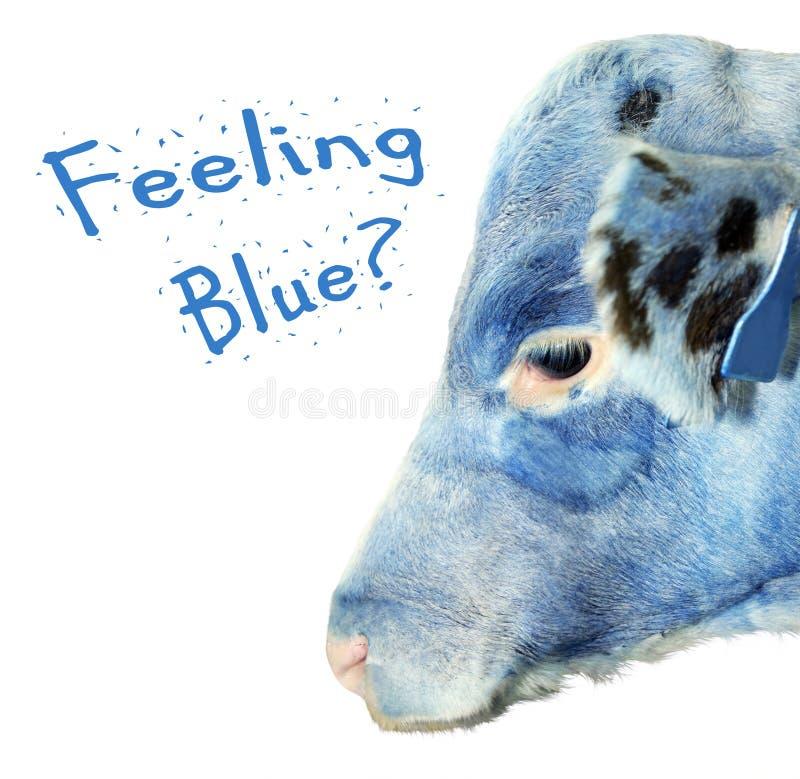 Glaubendes blaues Kalb lizenzfreies stockfoto
