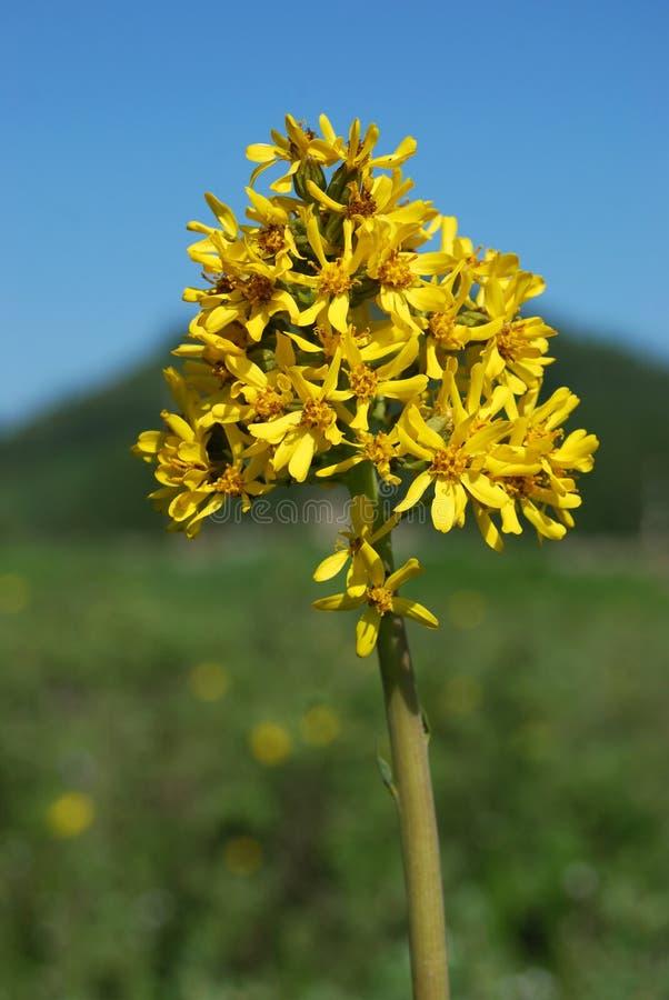 Glauca van Ligularia royalty-vrije stock foto